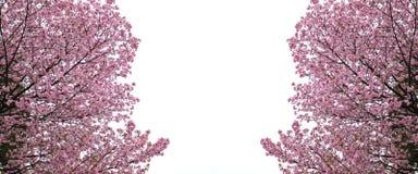 Sakura o flor de cerezo Imagen de archivo libre de regalías