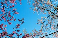 Sakura o flor de cerezo tailandés Fotografía de archivo libre de regalías