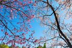 Sakura o flor de cerezo tailandés Fotos de archivo libres de regalías