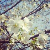 sakura och bi Arkivfoto