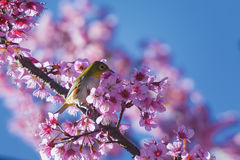 Sakura och fågel Royaltyfria Bilder