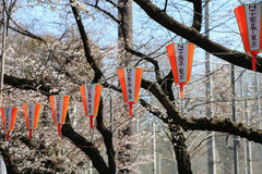 Sakura och lyktor royaltyfri bild
