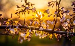 Sakura och solnedgång Arkivbilder