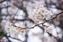 Sakura od Wuhan uniwersyteta fotografia royalty free