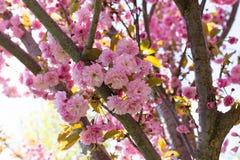 Sakura okwitnięcia kwiat w wiośnie Obrazy Royalty Free