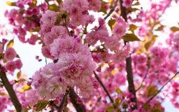 Sakura okwitnięcia kwiat w wiośnie Obrazy Stock