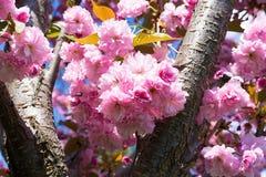 Sakura okwitnięcia kwiat w wiośnie Zdjęcie Stock