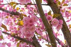 Sakura okwitnięcia kwiat w wiośnie Fotografia Royalty Free