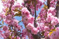 Sakura okwitnięcia kwiat w wiośnie na niebieskiego nieba tle Obrazy Royalty Free