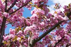 Sakura okwitnięcia kwiat w wiośnie na niebieskiego nieba tle Obrazy Stock