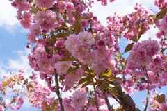 Sakura okwitnięcia kwiat w wiośnie na niebieskiego nieba tle Obraz Royalty Free