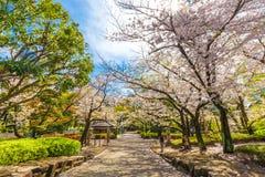 Sakura okwitnięcia kwiatu park z drogą przemian publicznie Zdjęcia Stock