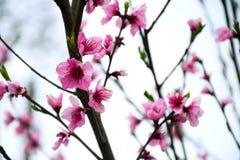 Sakura okwitnięcie Wakacyjny Khan Wiśnia fotografia royalty free