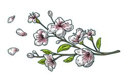 Sakura okwitnięcie Wiśni gałąź z kwiatami i pączkiem Płatków spadać ilustracji