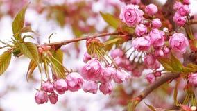 Sakura okwitnięcie z Różowymi kwiatami zdjęcie wideo