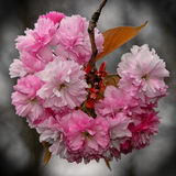 Sakura okwitnięcia Obraz Royalty Free