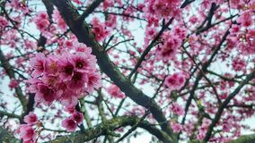 Sakura okwitnięcie fotografia royalty free