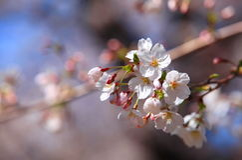 Sakura, okwitnięcie Obrazy Stock