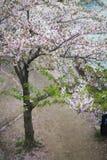 Sakura okwitnięcie Obrazy Stock
