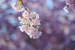 Sakura okwitnięcie Fotografia Stock
