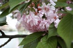 Sakura okwitnięcie Zdjęcie Stock