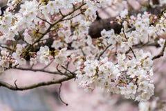 Sakura okwitnięcie w Japonia Zdjęcie Royalty Free