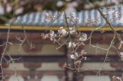 Sakura okwitnięcie w Japonia Obrazy Stock