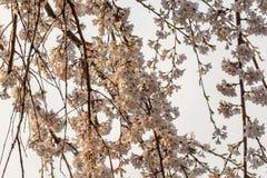 Sakura okwitnięcie w Japonia Zdjęcia Stock