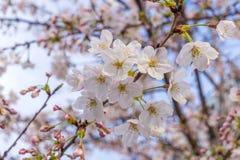 Sakura okwitnięcie w Japonia Obrazy Royalty Free