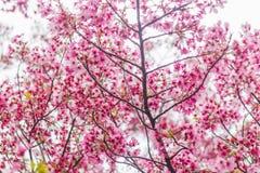 Sakura okwitnięcie w Japonia Fotografia Royalty Free