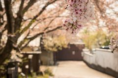 Sakura At Omihachiman Merchant Street royalty free stock images