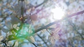 Sakura op zware wind stock video