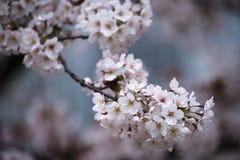 Sakura in Osaka Stock Afbeeldingen