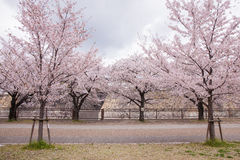 Sakura Osaka Castle, beautiful. Royalty Free Stock Photos