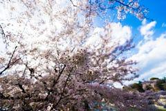 Sakura. Osaka  cherrys Petals under the sun Royalty Free Stock Photos