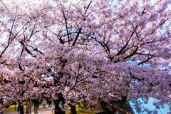 Sakura. Osaka  cherrys Petals under the sun Royalty Free Stock Images