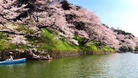 Sakura ou as flores de cerejeira bonitas saltam no Tóquio Japão video estoque