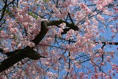Sakura ou cerise de floraison Photographie stock libre de droits