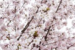 Sakura ou fleurs de cerisier japonais au printemps Doux, doux, rose, fond de fleur photo stock