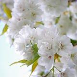 Sakura på Keukenhorf, Cherryblossom Royaltyfria Foton