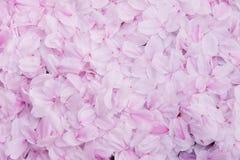 Sakura płatka ściany tło, tekstury czereśniowego okwitnięcia różowy tło obrazy stock