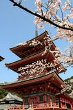 Sakura and Pagoda. Pagoda and cherry blossom in Kyoto, Japan Royalty Free Stock Photos