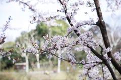 Sakura Stock Photo