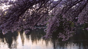 Sakura in the park stock footage