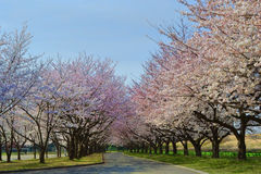 Sakura in the park #2. Cherry blossom in a park with blue sky and green grass Stock Image