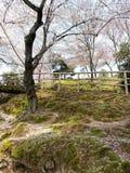 Sakura in the park. Sakura in Japan park Stock Image