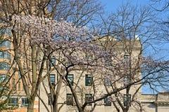 Sakura Park a New York Immagini Stock