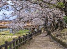Sakura Path Fotografia Stock