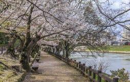 Sakura Path 2 Fotografia Stock Libera da Diritti