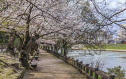 Sakura Path 2 Royalty Free Stock Photo